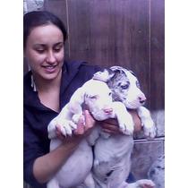 Dog-alemão Branco Merle Boston Caes Gigantes Pedigree