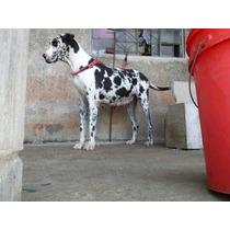 Dogue Alemão, Filhotes De Cães Já Vacinados, Machos E Fêmeas