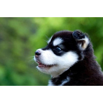 Lindos Filhotes De Husky Siberiano, Só Com A Pet Store