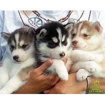 Filhotes De Husky Siberiano Vacinado Vermifugados Pedigree