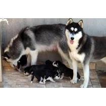 Husky Siberiano Filhotes Lindos E Puros