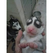 Filhotes De Husky Siberiano De Olhos Azuis - Pedigree
