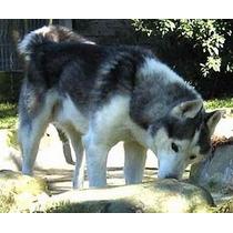 Filhotes De Husky Siberiano Vacinado Pedigree E Nota Fiscal