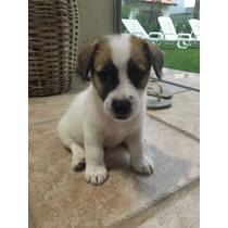 Filhote De Jack Russel Terrier - 8 Semanas - Pedigree Azul