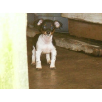 Jack Russel Filhote Macho C Pedigree Jack Russel Do Mascara