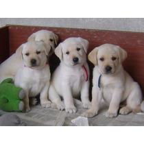 Labrador Belos Filhotes