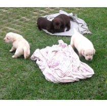 Filhote Labrador