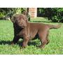 Labrador Em Todas As Cores Lindos E Puros