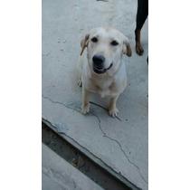 Labrador Femea Com Meses
