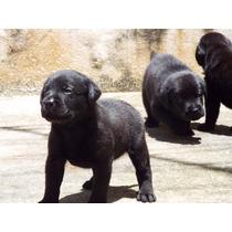 Vendo Labrador Retrierver