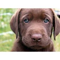 Lindos Filhotes De Labrador !