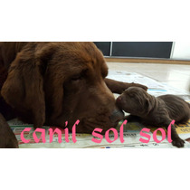 Filhotes De Labrador (chocolate) Pedigree E Microchip