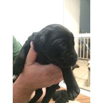 Vende-se Filhotes De Labrador ( Somente Fêmeas) De Cor Preta