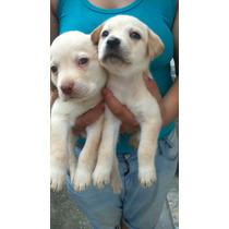 Lindas Femeas Labrador Caramelo Olhos Castanhos C/pedigree