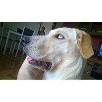 Cachorros Da Raça Labrador