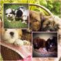 Lindos Filhotes De Lhasa Apso, Só Com A Pet Store