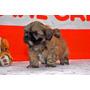 Lindos Filhotes De Lhasa Apso. Pronta Entrega!