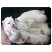 Maltes Micro Baby Face - Linhagem Cherry E White Field