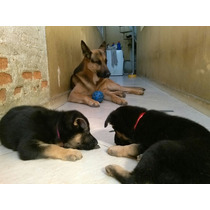 Pastor Alemão Filhotes De Cães Já Vacinados, Machos E Fêmeas