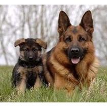 Pastor Seu Cachorro Filhote Ou Adulto Adestramento Via Ebook