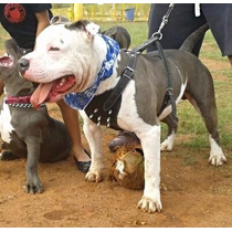 Blue Nose American Pitbull Terrier X Blue Fawn Filhotes