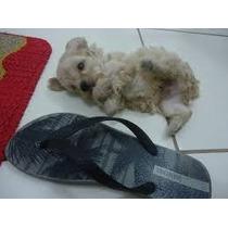 Vendo Filhotes De Poodle Micro Toy Com Contrato Garantia