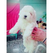 Mini Poodle Toy Machinho.