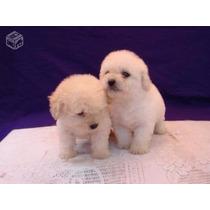 Poodle Micro Toy - Filhotinhos