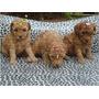Vendo Filhotes De Poodle Micro Toy Com Contrato Garantia Co