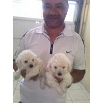 Poodle Micro, Filhotes De Cães Já Vacinados, Machos E Fêmeas
