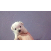 Poodle Microtoy Macho Champ, Com Pedigree 72336186