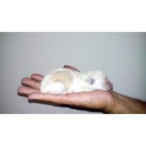 Poodle Toy Original Lindo. Cria De Apenas 1 Filhote