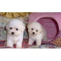 Poodle Micro Toy Lindos Filhotes