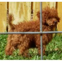 Filhotes Poodle Red-canil Laguna Garzón- O Melhor Do Brasil.