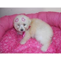 Fêmea De Poodle Micro Toy