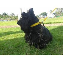 Filhotas De Scottish Terrier, Netas De Campeã Mondial. Show