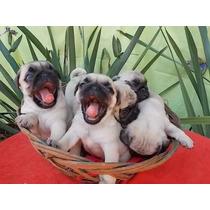 Filhotes De Pug Pedigree Lindos Preto E Abricot!!