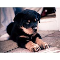 Filhotes Rottweiler Para Seu Fim De Ano!