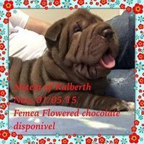 Sharpei Chocolate