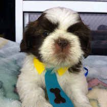 Macho Shih Tzu Micro Branco E Chocolate Pedigree Cbkc