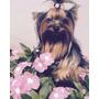 Vendo Lindos Filhotes De Yorkshire , Cão , Cachorro