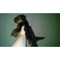 Femea De Yorkshire Terrier