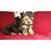 Filhotes Yorky Shire Terrier