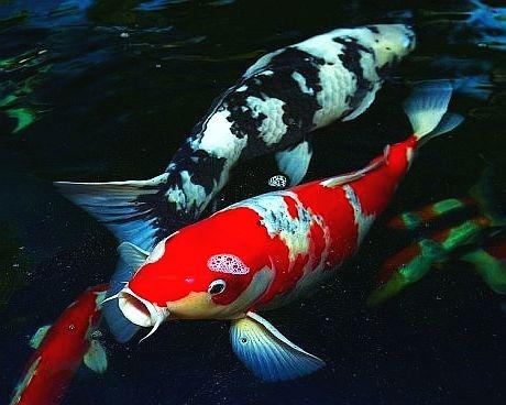 vendo carpas koi nishikigoi o aquarista descomplicado