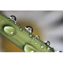 Poster (41 X 27 Cm) Dew Drops On A Stem Panoramic Images