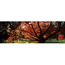 Acer Árvore Em A Jardim Lugarejo Perrow Arboreto Bedale