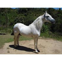 Cavalo Mangalarga Marchador Garanhao