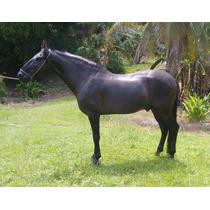 Venda Cobertura Cavalo Campolina Campeao- Arqueiro De Lisgon