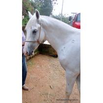 Cavalo Branco De Cela E Charrete - 3 Anos De Idade