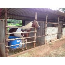 Cavalo Pampa Registrado Filho De Penisula Do Yuri Cm Kibelo